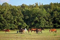 Hästar betar på Arkivbild