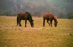 Hästar betar på Royaltyfri Bild