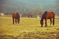 Hästar betar på Royaltyfria Foton