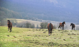 Hästar betar på Royaltyfri Foto