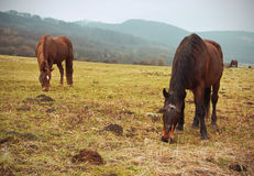 Hästar betar på Arkivfoto