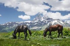 Hästar betar på grön äng i berg mot bakgrunden av monteringen Ushba i Svaneti, Georgia Hästar äter gräs på bergäng Arkivbilder