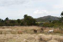 Hästar betar in på Trinidad bygd, Kuba Royaltyfria Bilder