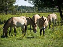hästar betar przewalski Royaltyfria Bilder