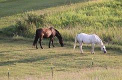 hästar betar två Arkivfoton