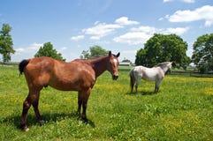 hästar betar två Royaltyfri Fotografi