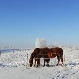 hästar betar vinter Arkivbilder