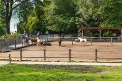 Hästar brukar på den Mainau ön arkivbilder