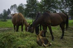 Hästar Daruvar, Kroatien Arkivfoton