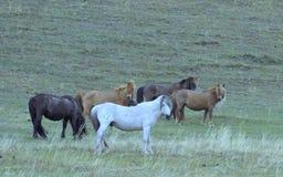 Hästar Den Sakha Yakutia republiken arkivfoto