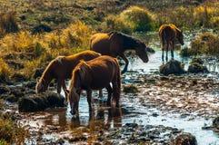 Hästar dricker På den Bashang grässlätten Hebei, Kina Royaltyfria Foton