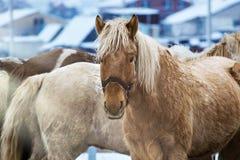 Hästar för en gå, i paddocken i vinter arkivbilder