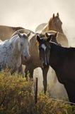 hästar fortfarande Royaltyfria Bilder