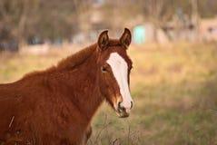 Hästar frigör på ett fält i Argentina fotografering för bildbyråer