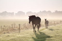 Hästar går på dimmigt betar Fotografering för Bildbyråer