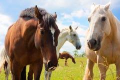 Hästar i äng Fotografering för Bildbyråer