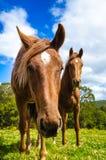 Hästar i ängen close upp Royaltyfri Foto