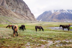 Hästar i bergen Arkivbild