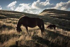 Hästar i bergen royaltyfri foto