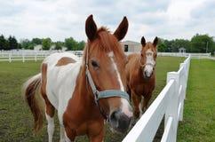 Hästar i beta Royaltyfri Fotografi