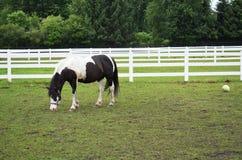 Hästar i beta Arkivbild