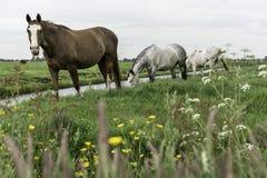 Hästar i betar Amsterdam Noord, Nederland fotografering för bildbyråer