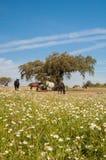 Hästar i betar mycket av ekar Solig vårdag i Extremadura, Spanien Arkivfoton