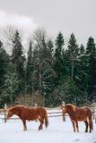 Hästar i bilagan på hästen brukar Royaltyfria Foton
