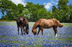 Hästar i bluebonnet betar Royaltyfri Foto