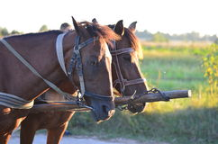 Hästar i bygd Royaltyfri Bild