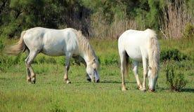 Hästar i Camargue, Frankrike royaltyfria bilder