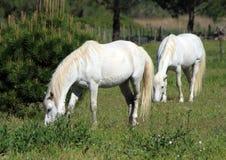 Hästar i Camargue, Frankrike arkivbild