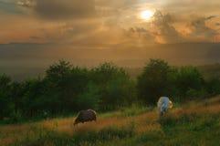 Hästar i de Carpathian bergen Arkivbilder