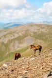 Hästar i de Pyrenees bergen, Spanien Royaltyfri Bild