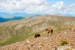 Hästar i de Pyrenees bergen, Spanien Royaltyfri Fotografi