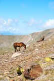 Hästar i de Pyrenees bergen, Spanien Royaltyfria Bilder
