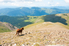 Hästar i de Pyrenees bergen, Spanien Arkivbilder