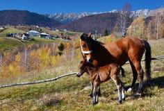 Hästar i den Magura byn, Rumänien Arkivfoto