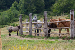 Hästar i den Mavrovo nationalparken Arkivfoton