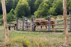 Hästar i den Mavrovo nationalparken Arkivbilder