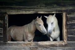 Hästar i det gammala huset Arkivfoto