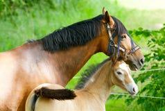 Hästar i det gröna gräset i Sverige royaltyfri fotografi
