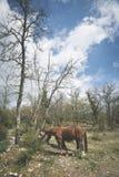 Hästar i det tuscan landskapet Royaltyfria Foton
