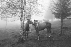 Hästar i dimman på gryning royaltyfria foton