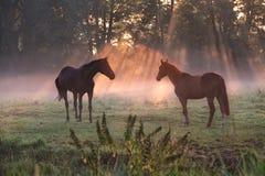 Hästar i dimmiga solstrålar för morgon Fotografering för Bildbyråer