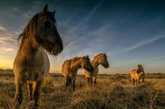 Hästar i dyerna Royaltyfria Bilder