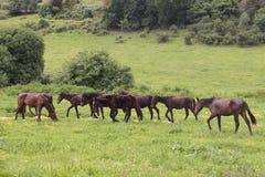 Hästar i en äng Arkivbild