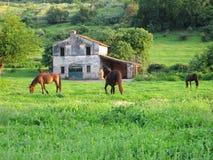 Hästar i en äng Arkivfoto