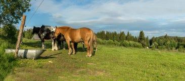 Hästar i en äng i Sumavaen, södra Bohemia, Tjeckien Arkivbilder