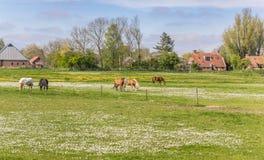 Hästar i en äng nära Feerwerd Arkivbild